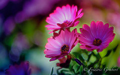 Contrast Time (frederic.gombert) Tags: flower flowers light pink color contrast spring nikon macro flora daisy bloom blossom green sun sunlight