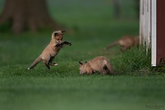 Fox's kits at play (daverazzi) Tags: nikon redfox red baby foxkit kits vulpesvulpes fox