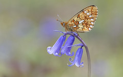 Pearl-bordered Fritillary (Boloria euphrosyne). (Bob Eade) Tags: butterflies butterfly pearlborderedfritillary boloriaeuphrosyne woodland wildlife fritillary female fauna flora bluebell eastsussex sussex spring