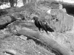 Wedge-tailed Eagle (foundin_a_attic) Tags: bird birds wedgetailed eagle