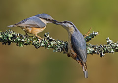 Pair of Eurasian nuthatch ( Sitta europaea  ) - A tender moment !! (Clive Brown 72) Tags: ourtshipfeeding bird woodland pair breeding trees feeding wales nuthatch