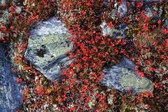 20180831-Canon EOS 6D-6296 (Bartek Rozanski) Tags: mysusaeter oppland norway rondane national park hiking moss stone red bearberry nasjonalpark reindeerlichen reindeermoss norge noreg