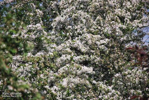 Київ, Ботанічний сад імені Гришка  Цвіте бузок InterNetri Ukraine 78
