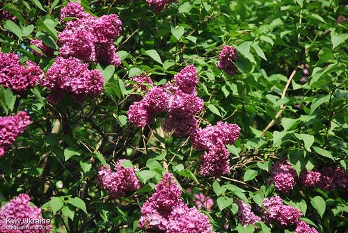 Київ, Ботанічний сад імені Гришка  Цвіте бузок InterNetri Ukraine 61