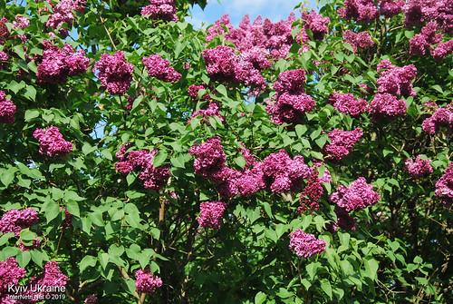 Київ, Ботанічний сад імені Гришка  Цвіте бузок InterNetri Ukraine 59
