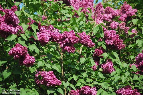 Київ, Ботанічний сад імені Гришка  Цвіте бузок InterNetri Ukraine 57
