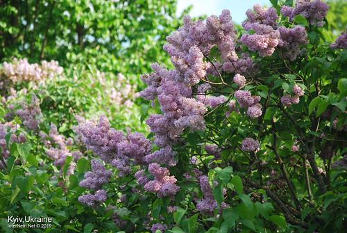 Київ, Ботанічний сад імені Гришка  Цвіте бузок InterNetri Ukraine 55