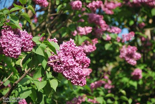 Київ, Ботанічний сад імені Гришка  Цвіте бузок InterNetri Ukraine 53