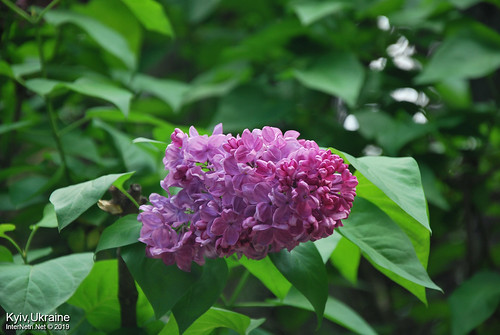 Київ, Ботанічний сад імені Гришка  Цвіте бузок InterNetri Ukraine 17