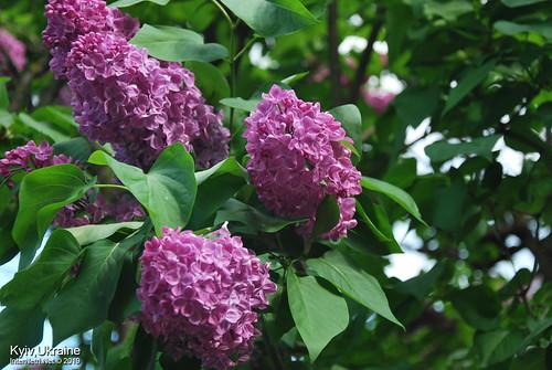 Київ, Ботанічний сад імені Гришка  Цвіте бузок InterNetri Ukraine 15