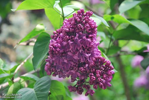Київ, Ботанічний сад імені Гришка  Цвіте бузок InterNetri Ukraine 13