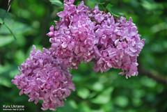 Київ, Ботанічний сад імені Гришка  Цвіте бузок InterNetri Ukraine 11