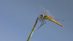 21082018-LT2_9848 (Luc TORRES) Tags: auto faune libellule moyendetransport nature lnsecte