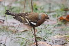chaffinch Buchfink (fringilla coelebs) (alfred.reinartz) Tags: vogel bird buchfink chaffinch fringillacoelebs