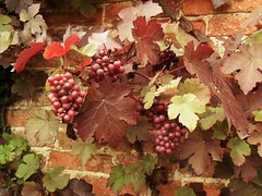 Packwood House (grassrootsgroundswell) Tags: englishcountrygarden nationaltrust warwickshire grapes