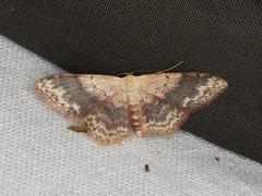 Idaea halmaea (dhobern) Tags: 2019 april australia lamingtonnationalpark lepidoptera queensland geometridae sterrhinae idaeahalmaea