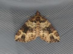 Epyaxa sp. (dhobern) Tags: 2019 april australia lamingtonnationalpark lepidoptera queensland geometridae larentiinae epyaxa