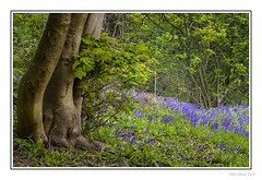 Woodland Clearing (Seven_Wishes) Tags: newcastleupontynenortheast morpeth northumberland canoneos5dmarkiv canonef24105mmf4lisii jo 2019 landscape forest woodland tree floral flowers bluebells plant grass treetrunk spring wildflowers newcastleupontyne tyneandwear uk