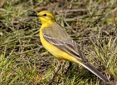 Yellow Wagtail (wryneck94) Tags: birdwatching somerset somersetlevels