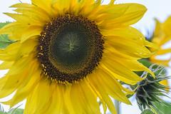 Sunflowers (Merrillie) Tags: wyongcreek flowers nature australia sunflower newsouthwales earlymorning nsw sunflowers macro flora yarramalongturfsupplies closeup plant annualplant green helianthusannuus yellow centralcoast field