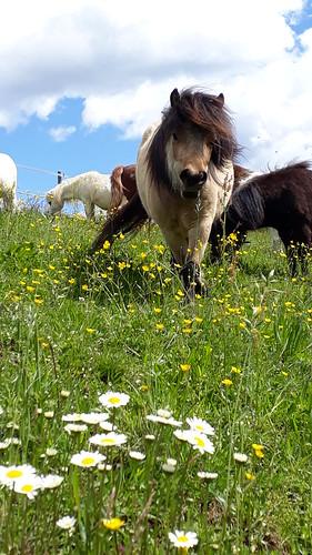Ponyfreuden am Miniponyhof Wild