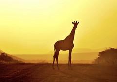 Wild at Sunset (Jeff Clow) Tags: jeffclowphototours sunset giraffe jeffrclow southafrica wildlife