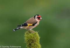 Goldfinch (stanley.ashbourne) Tags: bird goldfinch nature wildlife standlake oxfordshire stanashbourne birdphotography