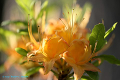 Orange Dreamscapes No 5...Bouquet (Walt Snyder) Tags: canoneos5dmkiii canonef100400mmf4556lisiiusm orangerhododendron rhododendron orange springblooms blossom dreamy bokeh azelea