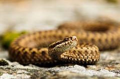 Vipera Berus (TIBoine) Tags: europa europe norge norway oppland skar vinstra animal dyr exterior huggorm slange snake viperaberus