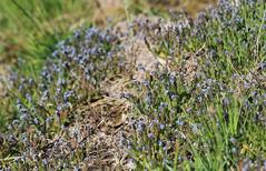 Early Forget-Me-Not (Wild Chroma) Tags: boraginales forgetmenot sweden uppsala flora myosotis ramosissima myosotisramosissima