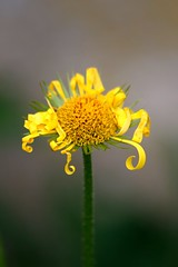 curly haired (Wackelaugen) Tags: flower curl curly yellow canon eos photo photography stephan wackelaugen 760d macro