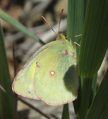Clouded Sulphur (Bug Eric) Tags: animals wildlife nature outdoors insects bugs butterflies sulphurs pieridae lepidoptera coloradosprings colorado usa cloudedsulphur coliasphilodice northamerica april272019