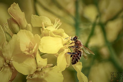 Busy Bee (4.13 Photo) Tags: bee biene raps canola natur nature aimal insects