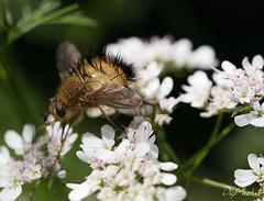 DSC_6089 (DigiPhotus) Tags: digiphotus mosca insect insetos insectos inseto insekt insecte insetto insekten insekte insekter insectes insecten insektet insetti izimbali serracatarinensebrasilamérica santacatarina serra painel
