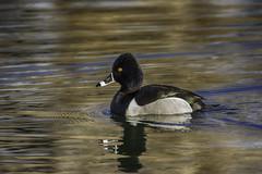 Ring-necked Duck (raineys) Tags: ringneckedduck duck bird nature wildlife inyocounty bishop california specanimal