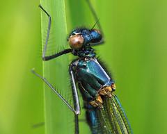 banded demoiselle (Johnson Cameraface) Tags: 2019 may spring olympus omde1 em1 micro43 mzuiko 60mm macro f28 johnsoncameraface riverdon bandeddemoiselle calopteryxsplendens
