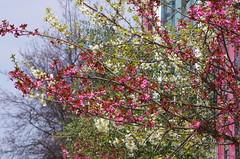 446 Paris en Mars 2019 - sur le Port de l'Arsenal (paspog) Tags: paris france mars march märz portdelarsenal blumen blossoms 2019 fleurs
