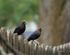 Just fix this fence already! (ironicdream) Tags: smileonsaturday fence fencedfriday fencyfence sundayanimals