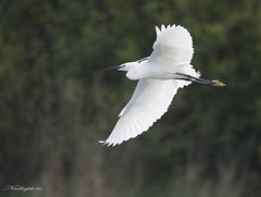 (nadiaorioliphoto) Tags: egret garzetta uccello bird aves nature natura fauna animals flying volo