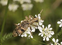 Black-spotted Longhorn Beetle - Rhagium mordax (Prank F) Tags: graftonparkwood graftonunderwood northantsuk wildlife nature insect macro closeup beetle longhorn cerambycidae blackspotted rhagiummordax