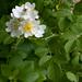 Rosa multiflora 190517