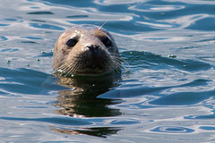 Atlantic Grey Seal (ccmcentee) Tags: seal greyseal atlanticgreyseal anglesey puffinisland