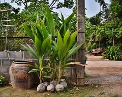 Coconut seedlings (Nam Keng) Tags: coconut seedlings thailand rural village