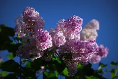 IMGP8236 (PahaKoz) Tags: весна природа флора сад цветение цветы сирень spring nature flora garden blossom bloom blossoming flowers lilac