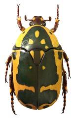 Pachnoda sinuata (dries.marais) Tags: coleoptera scarabaeidae cetoniinae cetoniini fruitchafer pachnoda sinuata