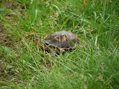 TURTLE (Thundercheese) Tags: rockcreekpark washington dc turtle boxturtle