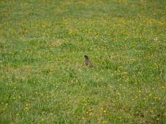 american robin (Thundercheese) Tags: rockcreekpark washington dc bird robin