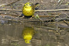 Yellowhamer (Wilfin) Tags: bird duck birdwatching birding moray north scotland wildlife yellowhammer