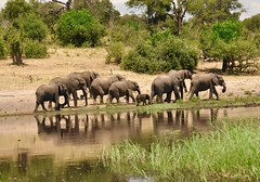 What Will Their Future Be? (The Spirit of the World ( On and Off)) Tags: elephants herd river water botswana trees riverbank reflections babyelephant mammals content happy peaceful sand grasses safari wildlife nature gamedrive choberiver
