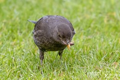 Common Blackbird (Female) (Turdus merula) (PhasmatosOculus) Tags: may 2019 may2019 bird birds rivernene barnwellcountrypark barnwellpark barnwell country park northamptonshire wildlifeanimal wildlife animal animals wildlifeanimals matthewfarrugia matthew farrugia centricmalteser canon6dmkii canon 6d mkii eos6dmkii canoneos6dmkii eos canoneos eastanglia 6dmkii phasmatosoculus commonblackbird turdusmerula common blackbird turdus merula
